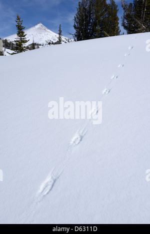 Animal tracks in the snow of Aneroid Basin, Wallowa Mountains, Oregon. - Stock Photo