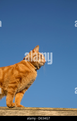 ginger cat balanced on the top of a fence - Stock Photo