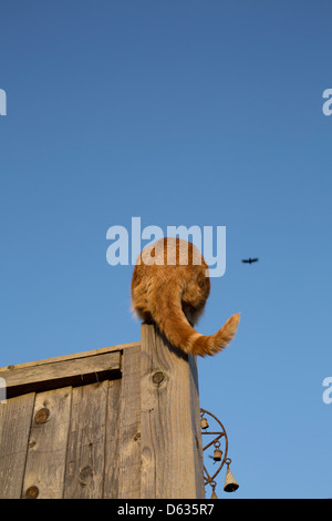 back of a ginger cat sitting on the top of a fence post - Stock Photo