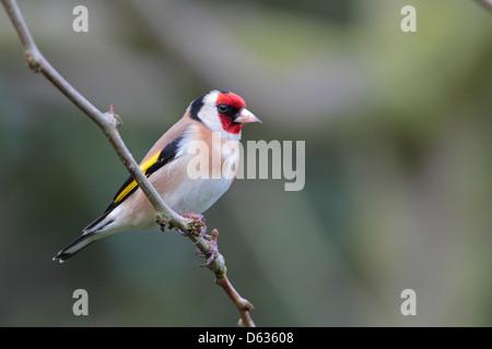 Adult European Goldfinch Carduelis carduelis in a British garden - Stock Photo