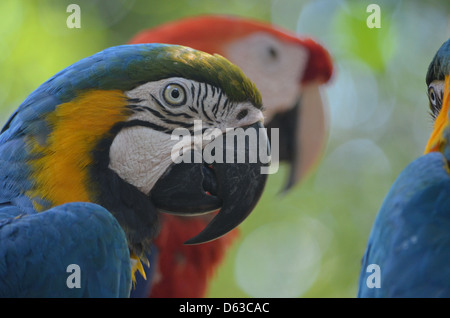 Blue, Yellow and Red Macaws in the Amazon rainforest, Peru - Stock Photo