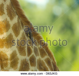 Red Billed Oxpecker feeding off a giraffe - Stock Photo