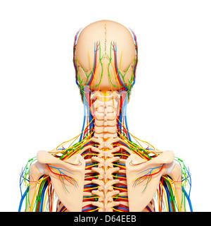 Upper body anatomy, artwork - Stock Photo