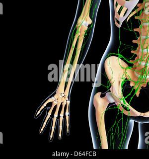 Human anatomy, artwork - Stock Photo