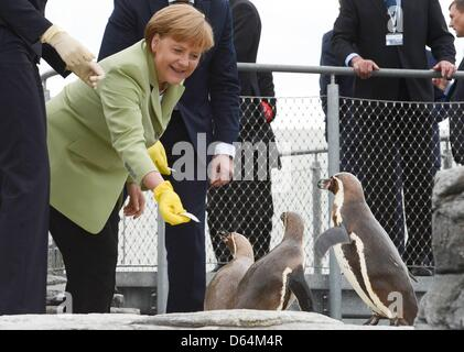 German Chancellor Angela Merkel feeds penguins in the Oceaneum during the 'Council of the Baltic Sea States' leader summit in Stralsund, May 31, 2012. Photo: Fabian Bimmer  +++(c) dpa - Bildfunk+++