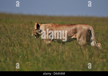 Lioness walking in the green bush - Stock Photo
