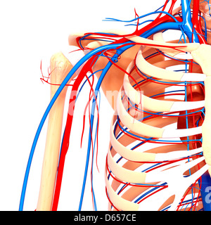 Shoulder anatomy, artwork - Stock Photo