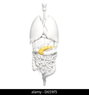 Healthy pancreas, artwork - Stock Photo