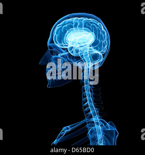Brain anatomy, artwork - Stock Photo