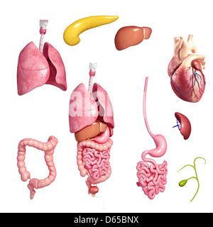 Human organs, artwork - Stock Photo