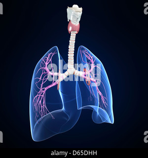 respiratory system, artwork - Stock Photo