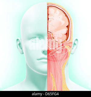 Head anatomy, artwork - Stock Photo