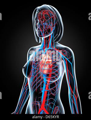 Female cardiovascular system, artwork - Stock Photo