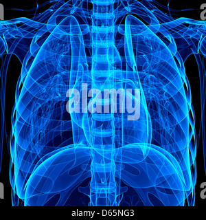 Chest anatomy, artwork - Stock Photo