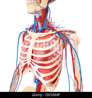Male chest anatomy of thorax with heart, veins, arteries and lungs ...