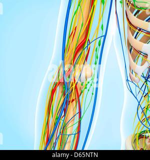 Elbow anatomy, artwork - Stock Photo