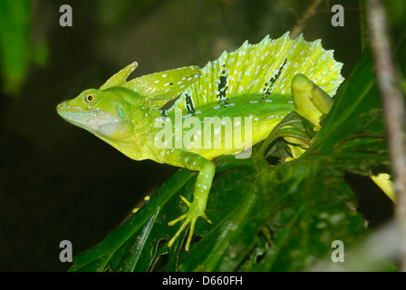 Adult male Plumed Basilisk (Basiliscus plumifrons) displaying - Stock Photo
