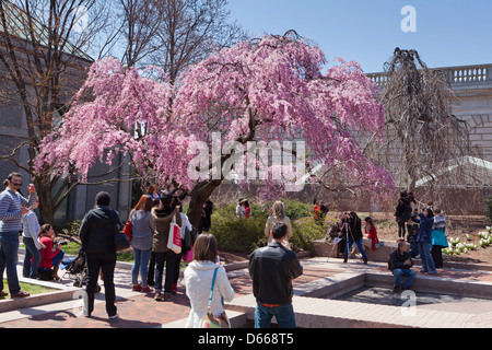 Crowd enjoying the Weeping Higan Cherry tree in full bloom - Stock Photo