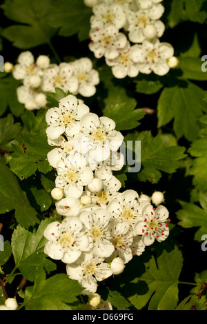 luxuriant flowers white on big hawthorn tree - Stock Photo