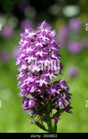 Pyramidal orchid in full bloom - Stock Photo
