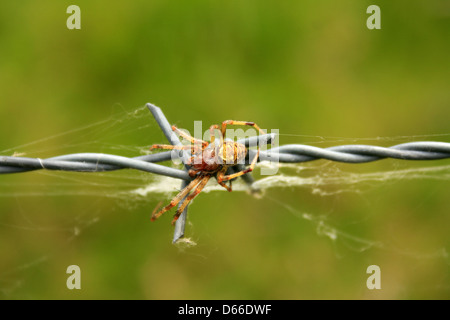 An Orb Weaver Spider crawling over a barb on a fence in a field in Cotacachi, Ecuador - Stock Photo