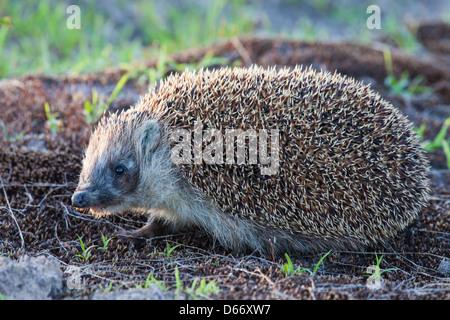 Wild hedgehog - Stock Photo