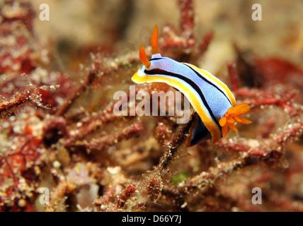 Anna's Magnificent Slug (Chromodoris Annae), Bunaken, Indonesia - Stock Photo