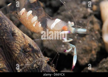 Magnificent Partner Shrimp (Periclimenes Magnificus), Lembeh Strait, Indonesia - Stock Photo