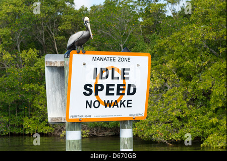 A Brown Pelican (Pelecanus occidentalis) perched on a Manatee Zone sign in the Indian River, Vero Beach, Florida - Stock Photo