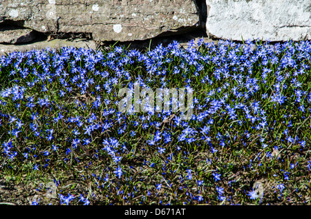 A lot of Siberian Squill in early springtime at a limestone wall - Stock Photo
