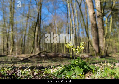 cowslip, primula veris, beech forest, herrenholz, goldenstedt, vechta district, niedersachsen, germany - Stock Photo