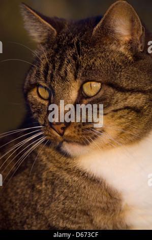 Portrait of an adult tomcat - Stock Photo