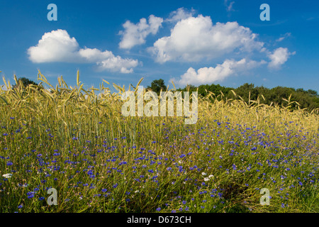 cornflowers at the edge of a grainfield, centaurea cyanus, niedersachsen, germany - Stock Photo
