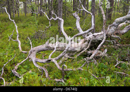 broken pine in finnish forest, finland - Stock Photo