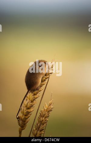 A harvest mouse sitting atop a wheat plant - Stock Photo