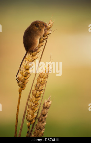 A Harvest Mouse sitting at the top of a wheat plant - Stock Photo