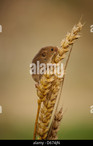 A Harvest Mouse climbing on some wheat - Stock Photo