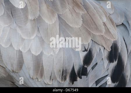 crane plumage, grus grus, germany - Stock Photo
