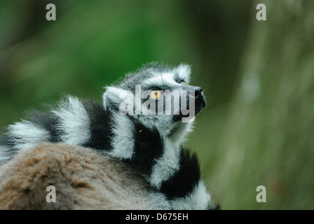 ring-tailed lemur looking up - Stock Photo