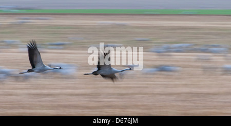 cranes flying over field, grus grus, germany - Stock Photo