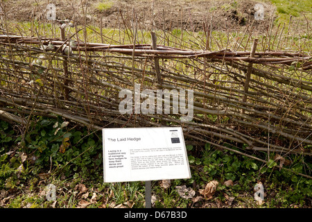 Demonstration of a traditional Laid Hedge, hedging or hedgerow, Cambridge Botanical Garden, UK - Stock Photo