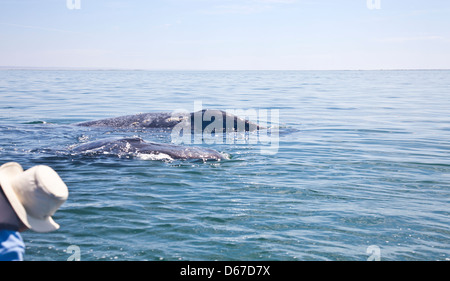 Tourist watches a Grey / Gray Whale, Eschrichtius robustus, mother and calf in Laguna San Ignacio, Baja California - Stock Photo