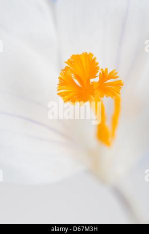 White Crocus vernus flower showing bright orange yellow pistil against brilliant white petals opened up - Stock Photo