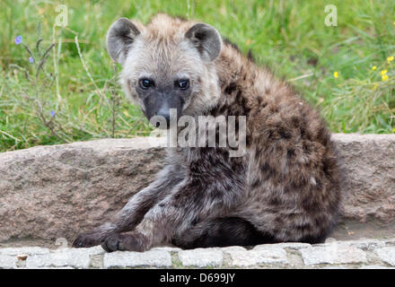 Five-month-old spotted hyena Juma sits in her compound at the zoo Berlin-friedrichsfelde in Berlin, Germany, 03 - Stock Photo
