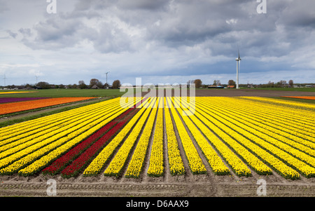 wide angle view on tulip field - Stock Photo