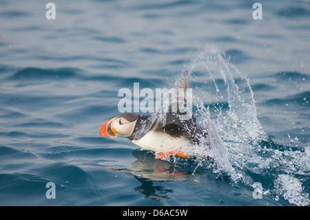 Norway, Svalbard Archipelago, Spitsbergen. Atlantic puffin, Fratercula arctica, adult takes flight. - Stock Photo