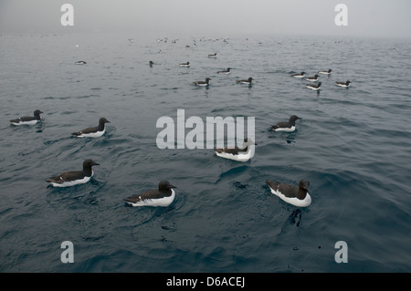 Norway, Svalbard Archipelago, Spitsbergen. Flock of Brunnich's guillemots, Uria lomvia, swimming along the coast. - Stock Photo