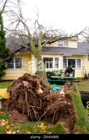 Tree which has fallen on the roof of a house. Caused by hurricane Sandy. Roots are showing in foreground. - Stock Photo