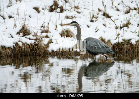 Great Blue Heron in Snow Stock Photo