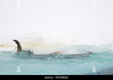 Norway, Svalbard Archipelago, Spitsbergen. Walrus, Odobenus rosmarus, adult rolls off a pan of sea ice into the - Stock Photo
